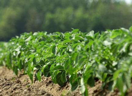 csm_Kartoffelpflanze_25bcfb7aac